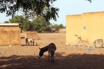 Un âne à Sanaba